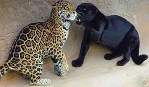 Jaguar VS Panter