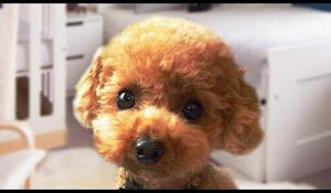 Funny and Cute Poodle Compilation